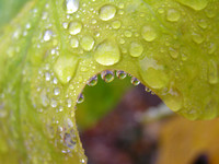 Dew on tulip tree leaf
